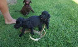 These are our AKC Registered Labradors. They were born on June 4th and will be ready this Friday. Mom retrieves ducks,quail, and dove, and the dad is a shed hunting dog. We have 2 Chocolate Females 2 Chocolate Males 1 Black Males 2 Black Females Females