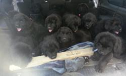 I have Akc registered Newfoundland puppies for sale 4 males 3 females. All parents are on site. Very loving dogs. Natural water rescue instincts. Voted number one dog for children. This is about half of what other people charge for their Newfoundlands.