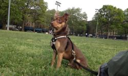 Chocolate and tan w/ whie star on chest. 4 yrs  .old with good blood lines. Call Milton @ 917 652 2771.