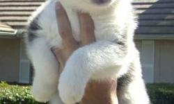 Luna's litter D.O.B 04-27-2014 2 males, 2 females 4 weeks old, All blue eyes $400.00, Puppies are already ready for new homes. Puppy comes with: 1st sets of shots, shot record booklet dewormed several times (Full) AKC registration A one year health