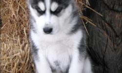 Super adorable Siberian Husky puppies. So gentle and affectionate. I have one male and one female left out of a litter of 4. This is a great breed for families with children. (240) 844 x 2360 is my number
