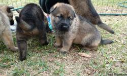 Dark sable German Shepherd puppies out of 2 very high drive parents first set of shots dewormed and AKC registered