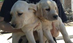 I have a litter purebred Labrador puppies,AKC Registered,two females and one male,they have their first shot and dewormed,super cute and loving,parents on site,Ready to go a new home.