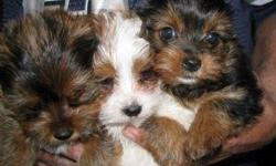 AKC registered Yorkie Puppies for Sale to any loving families.They are home raised and love the company of kids and other house hold pets.They are Vet checked and all in their current shots,they will come with all papers and toys.Contact us now for more