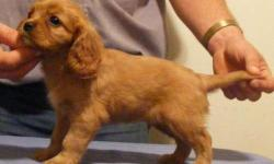 1 Male Ruby Cavalier King Charles Spaniel born on 7-16-11. UTD on shots and comes with a health warranty. *?* Credit Cards Accepted (Visa/MasterCard???????) ** No Credit Check Financing Available (Please Inquire) ** Shipping Available ** Microchipped? **