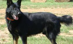 **ONLY 1 FEMALE AND 1 MALE LEFT** IMPORTED BLOODLINES! Sable german shepherd puppies born on 11/27! The sire and dam have excellent pedigrees including many SCH III titles on both sides. Sire was imported from Belgium and Dam has Czech imported