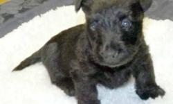 AKC Registered Scottish Terrier puppies, healthy, playful litter of two males, two females. The two males are sold, two blackfemales available now. Born April 4, 2016. They have puppy vaccinations, vet supervised care and dewormed,