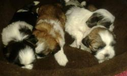 Beautiful AKC Shih-Tzu Puppys For Sale 2 Girls and 2 Boys White and black and white and Beige For $500.00 Each