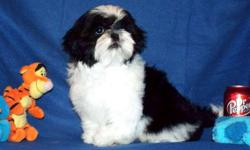 AKC shih Tzu Boy, CH. Dam, CH. Sire/Dam. 47 CH. in combined 5 generational pedigrees. Black/White,Born 1-17, Ready after 4-17, $850. Neutered before leaving. Neuter, neuter certificate, Rabies shot/tag, All shots/wormings, dew claws removed, health
