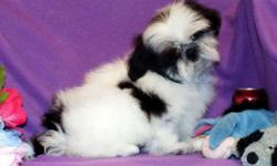 AKC Shih Tzu Girl, CH.Dam, Sire CH. Bloodlines. Black/White, Born 1-16, Ready $750. Spay Contract-No Breeding,Pet Home. All shots/wormings up to date, dew claws removed. Vet checked, Health Guarantee. Puppy is priced with pick up at our place near Sabetha