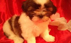 We have 5 adorable AKC Shih Tzu puppies 8 weeks old ready to go to their new homes. 1 Male is white/ liver colored with green eyes, 1 Male is tri colored with black face and dark brindle body, 1 Male is white/golden brown body, 1 Female is white/dr.brown