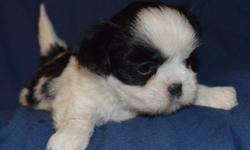 Imperial Shi tzu puppies between 6to 7 lbs as adults. parents on site come with akc application first shots dewormed properly and a 1 year health guarantee. They are sweet non yappy, non shedding get along with anyone pets.