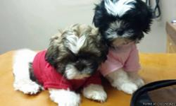 AKC (full registered) shih tzu puppies.They will visit our vet at 7weeks of age for a head to toe health check,first set of shots and deworming.If our vet approves,they are ready to go to their forever families,if you wish to make him part of your
