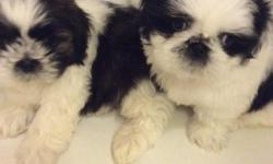 AKC SHIH TZU Puppys come with AKC papers and a four generation family tree, breeding rights included. Born April 20TH 2016, gorgeous Males That are brown and white and black and white.They have beautiful faces and will have an estimated adult weight of 8