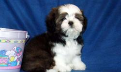 AKC Shih Tzus, Champion Bloodlines,Puddles puppies. Various Colors, Born 1-1, Ready 3-26, $700-750. Spay/Neuter Contract-No Breeding,Limited Registration. All shots/wormings will be up to date, dew claws removed. Vet checked, health guarantee. We can meet