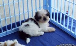 AKC Shih Tzu's, Lucy's puppies. Champion Bloodlines Both Sides. Born 4-24, Ready after 7-10,$795. Spay/Neuter Contracts-No Breeding,Pet Home Only. Girl G1 Black/White. Boy B1 Red/White/black marking(more white). Boy B2 Red/White/blackmarking(more red).