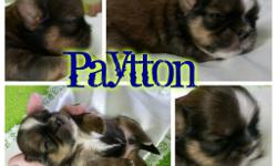 I am small hobby breeder because I focus on raising them as family pet. We love to spoil our fur-babies. I strive to achieve the traditional traits of the shih Tzu breed. Trying to improve this breed which consisted of 14 original dogs which made it out