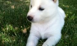 We have 5 AKC Siberian huskies. All boys. There champion line and show quality. Deposits is $200 to hold puppy. Puppies will have shots, dewormed and chipped. We black blk/white and all white with blue eyes. We have mom and dad. Your more them welcome to