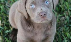 We breed two specialized Labradors; the beautiful Dilute Coated Labs and Pointing Labs. Our labs come from reputable lines that are second to none. We pride ourselves in the fact that they are as comfortable in the field and duck blind as they are on a