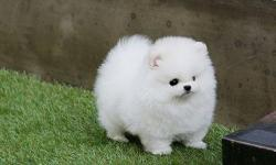 I have 2 beautiful Pom puppies to rehome. Their parents are family pets and all puppies are raised with love. They come with full AKC registration and have already been to the vet for their 1st round of shots. They are male and female . They all have