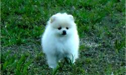 Charming male and female Teacup pomeranian puppies for adoption. They are fully registered, 5 generation pedigree, 1st vaccination done, wormed to date, 12 weeks free insurance. If you have any questions please contact us.Call or Text (435) 709-5621