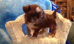 AKC Tiny Shin Tzu girl 8 weeks old, expected size 5-6 lbs, chocolate with perfect white markings, for emailed picture schnuerle.arlene@gmsil.com 208-413-3046