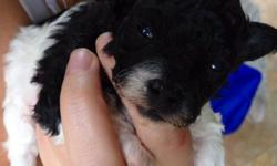 AKC Tiny Toy & Teacup Poodles Parti Teacup Female & White Tiny Toy Male born 6/11/14. They will be ready to go 8/6/14 with tails docked & up to date on all deworming & shots. This tiny female will grow to be approximately 3 lbs or less & her brother