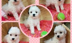 We have 2 beautiful little girls left. They are super sweet. They were born May 17 2016. They are very smart. They have already learned to sit. They are well socialized with other dogs and cats. They love kisses! Their mom weighs about 10 lbs and their