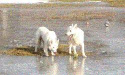 AKC White German Shepherd pups! Both parents onsite, home raised in the house with kids and cats. Breed for that beautiful white coat, excellent temperament and excellent health. Will make great family dogs, search and rescue, service