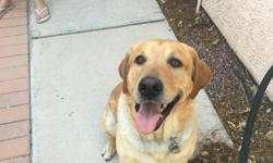 I have a male yellow lab named Snoopy, he just turned 4 years old on July 10th. He's akc registered. Please contact me for more info