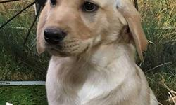 Akc registered Ofa certified beautiful yellow English lab puppies great hunting lines .ready to go 4 females 1 male . Dew claws removed utd on shots micro- chipped Heath guarantee Parents are our pets very socialized 406-298-0828 call or text 900