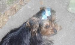 AKC Yorkies 2males 6 MO. old with first shots i have mom is 4lb &dad is3 1/2. call from 2pm to9 pm