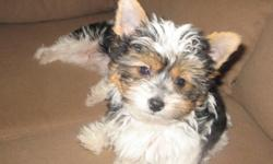 2 Beautiful AKC registered Parti Yorkies males. $650. They have 3 of 4 puppy shots and have been wormed. 520-954-3976