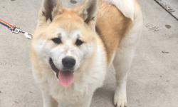 Akita female 10 months, AKC registration papers, Baby is crate trained andhas had all of her shots.Text 210.6636016, located in North San Antonio.