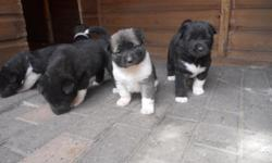 Lovely chunky American Akita pups weaned and wormed ready now for there new for loving homes. All been handheld very friendly love a fuss both parents full pedigree, both got great temperament and go along well with kids and other pets. Asking 400 for