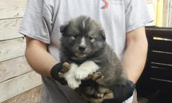 I Have 6 large fluffy pups looking for there new aFamily. Parents are wonderful and dad is a very large Gaint malamute/Pyrenees and Mom is a large wooly coat Alaskan Malamute. They are ready to go and are very friendly, they come with the 1st
