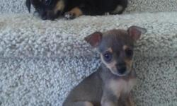 TWO GIRLS ONE BOY BOTH PARENTS ARE DEER CHIHUAHUA CALL I SEND YOU PICS VERY CUTE and playfull 719)644-4702
