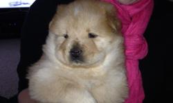 We have 2 female Chow Chow puppies ready to be taken home on November 15th.  One is cream is white stipe on his head, the other is grey with blue eyes. They are being socialized with children and other animals.  Mom
