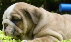 op quality male puppy big bones very stocky amazing head very good conformation short body short legs beatiful color amazing personality he is very social and loves tobe around people, will make a wonderful companion and best friend. he comes with: health