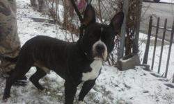 Male bully papers house and crate trained good with dogs and kids great bloodline.Will not last long......