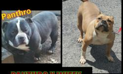 We have 2 male pups available from a Gottyline breeding we did with our girl Wifey and Panthro here is link to pedigree http://nytrobullypeds.com/testmating.php?dam=164240&sire=164622&gens=6 Pups are now 9wks of age and ready for there new homes Ukc