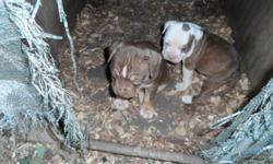 2 Ameican Pit Bull Terrier females one is red and white the other is a tri color red and white with brown markings they were born 4/14/2014 they have had 1 set of shots and been wormed 2 times they are CKC registered and both parents are on site if
