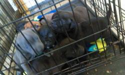 female blue pits, one brown one grey