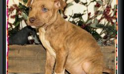 These are my American Pitbull Terriers.These are sweet, gentle, loving little dogs.They are NOT GAME BRED. They will only be sold to people wanting them for pets and NO OTHER REASON.They are now ready for new homes.They are CKC registered. All