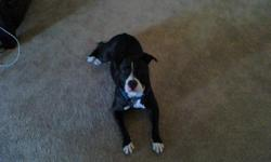 Diamond is a young female pitbull. She weighs about 40 pounds and has a black and white coat. She is a very well trained and loving dog. She thinks she is a lap dog, bed dog, and wonder dog. Not sure how well she gets along with other dogs, but she is an