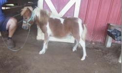 """AVA FARM Diamond DOB 3-27-14 Diamond is a little pinto filly. She should stay under 30"""". This little girl has been imprinted @ birth and is very friendly and sweet. She is also correct in every way and refined. Please visit our website"""