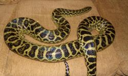 Female Yellow Anaconda is 7 foot semi  friendly always eats rats or quail  call me at 323-469-9271  WILL SEND PHOTOS IF INTERESTED This picture i just posted is a year old