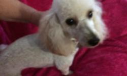She is apricot/cream, fixed, DOB 1/18/2015, microchipped, gets along great with other animals and family, year contract with Banfield until May 2017, pad trained. Comes with cage, pads, playpen for yard.