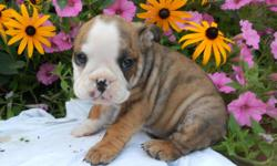 Do I look like an angel? Hi There! I'm Annie! The sweetest Female Miniature Bulldog you could ever meet! I'm so cute! I was born on June 25th,2014! A lot of people seem to like me for my name, my soft, silky brindle and white fur, and because of my loving