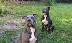 If you are looking for the best companion for your family or your best friend. Please look no farther. I have both male and female. Both blue nose American pitbull terriers. They are our family members and are inside dogs. My female just gave birth 2/23.